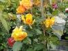 Kletterrose in voller Blüte