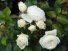 Schöne gefüllte Rosen